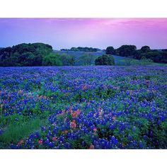 Texas bluebonnets in the hill country--write a descriptive paragraph about what you see. Remember to use awesome adjectives and figurative language! Champs, Indian Paintbrush, Texas Bluebonnets, Loving Texas, Texas Hill Country, West Texas, Blue Bonnets, The Ranch, Landscape Photos
