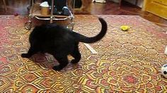 Stoat Annoys The #Cat - #funny