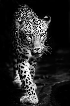 persian leopard by pixelmac - A Black And White World Photo Contest Animals Black And White, Black And White Pictures, Amazing Animals, Animals Beautiful, Wildlife Photography, Animal Photography, Jaguar Tier, White Leopard, Tattoo Ideas