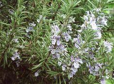 Ezért jó egy kis rozmaringot tartani otthon! | diabetika.hu Begonia, Plantar, Plantation, Health, Green, Products, Sun, Flowering Plants, Growing Plants