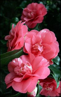 Camelia Japonica forever in my memory of my parent's home abloom at Mother's Day