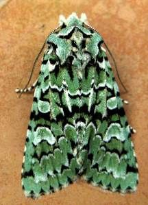 Not only did a pristine Merveille du Jour turn up – one of the most beautiful moths at this time of year