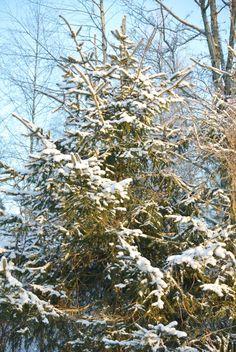 lumiukon mietteitä, kuusi kimmeltää auringossa