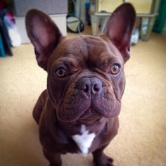 French Bulldog named BANKSY