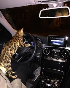 Bengal cat Simba. Can I take your car for a day? I promise not to exceed the speed limit