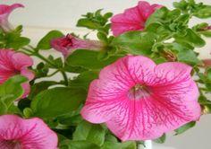 Petunia cultivars - Petunia - Zon/ lichte schaduw - Eenjarige - Niet giftig