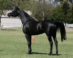 beautiful black Arabian horse