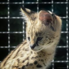 #serwal #młodykociak #dzikikot #Zoosafarii #Borysew