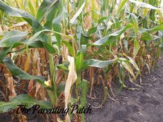 The Duck in the Corn Maze: The Rubber Ducky Project Week 38 | Parenting Patch