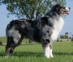 Q - ThermoDynamic of Imagineer RN, CGC (Blue merle c/w male) Australian Shepherd Puppies, Aussie Dogs, Australian Shepherds, Blue Merle Collie, Husky, I Love Dogs, Adorable Dogs, American Shepherd, Old Dogs