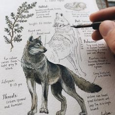 """Canis lupus"", The Grey Wolf Custom Journal Page for William. I think I've always taken wolves for granted up until now, but there's a reason they are so prevalent in folktales and mythologies, and the complexity of their social behaviour and communication is fascinating. I will definitely be illustrating more of them in the future! ✨"