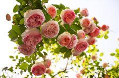 Roses, ultimate flower
