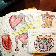 Study notes #school #humanbody #school #university #hsc #pdhpe #studying #study