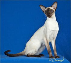 Chocolate Point Siamese