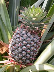 In this groundbreaking study, an enzyme extracted from pineapple known as bromelain was found superior to the chemo-drug 5-fluorouracil at treating cancer in the animal model. 5-fluorouracil is so toxic, that a dose weighing the equivalent of 3 pennies (7.5 grams) will kill 50 percent of humans given it. On the other hand, you would have to consume the equivalent of 1.5 lbs of bromelain to have a similar effect - which is practically impossible.