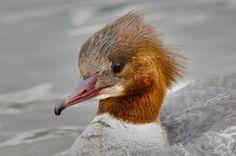 Gänsesäger weibl. Bird Watching, Birds, Animals, Photos, Animales, Animaux, Bird, Animal Memes, Animal