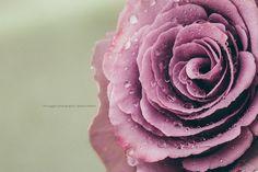 purple rose dp