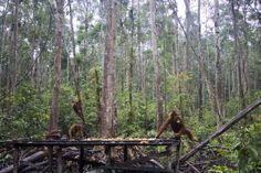 Orangutanes en el Ca