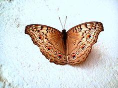 Spotted ButterflY ! by Manjusha Palaya on 500px