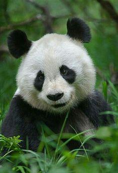 Smiling Panda Bear!