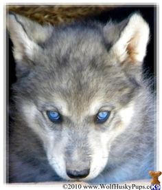 This is a husky wolf mix. Wicked awesome.