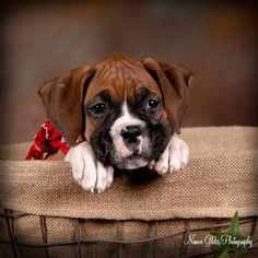 Boxer Pups!...I love boxers:-)  I have a boxer and can't wait to get another one hopefully in the next year!