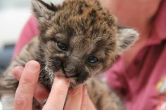 This Rescued Florida Panther Kitten Is Actually Too Cute Baby Panther, Panther Cub, Cute Little Animals, Baby Animals, Funny Animals, Manul Cat, Kitten Rescue, Kitten Love, Puppy Face