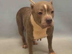 DIAMONDS - #A1070261 - Urgent Manhattan - FEMALE GRAY/WHITE AM PIT BULL TER MIX, 2 Yrs - STRAY - NO HOLD Intake 04/13/16 Due Out 04/16/16 - ILLNESS - ALLOWED ALL HANDLING BUT SHY, LEANS ON HANDLER