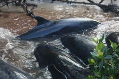 Nearly 100 beached false killer whales die after being stranded in South Florida