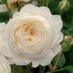 Claire Austin English Rose  Creamy white blooms. Myrrh fragrance with dashes of meadowsweet, vanilla and heliotrope.