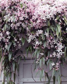 Clematis Apple Blossom online bestellen – Famous Last Words Beautiful Gardens, Beautiful Flowers, Garden Cottage, Plantation, Dream Garden, Garden Planning, Garden Projects, Garden Inspiration, Garden Plants