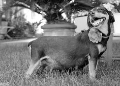 Most Adorable Maternity Photoshoot For This Dog