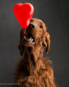 Irish Setter with a balloon