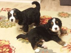 Bernese Mountain Dog born 4th of July 2014 4 weeks old