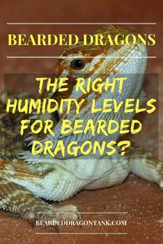What humidity levels do bearded dragons need? Do they need humidity at all? Bearded Dragon Tank Setup, Bearded Dragon Lighting, Bearded Dragon Enclosure, Bearded Dragon Diet, Bearded Dragon Substrate, Bearded Dragon Habitat, Dragon Facts, Dragons