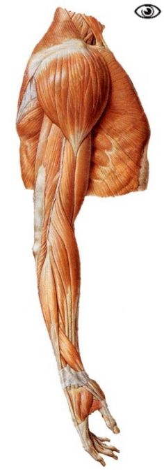 Muscles of the shoulder, the arm and the forearm (lateral view).