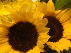 Sunny sunny sunflowers