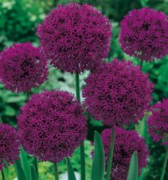 Allium purple sensation_Aglio ornamentale