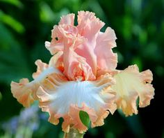 'PARISIAN DAWN' Keppel 2006 By Susanne Holland Spicker The 2014 TALL BEARDED IRIS SEASON was the best for me in recent memor...