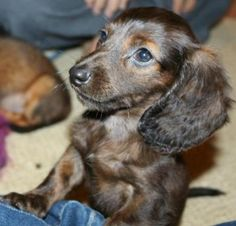 Beautiful standard size longhair male dachshund puppy available as a pet with a neuter contract/agreement.  AKC limited registration papers will be provided AFTER proof of neuter and copy of neuter ce