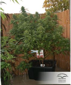 growing a few outdoor cannabis plants at home is easy - #Marijuana #Cannabis #maryjane