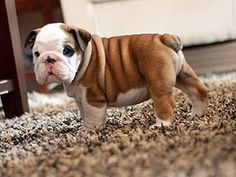 Baby #bulldog, just can't get enough of those little babies!