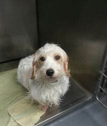 Buckwheat is an adoptable Dachshund Dog in Oakdale, MN. Name: Buckwheat Est DOB: 2011 Breed: Long haired doxie/poodle mix (best guess) History: Buckwheat found himself in need of rescue. He is a hands...