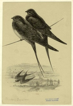 New York Public Library Picture Collection Vintage Birds, Vintage Flowers, I Like Birds, Nature Journal, Bird Drawings, Bird Pictures, Fauna, Science And Nature, Bird Art