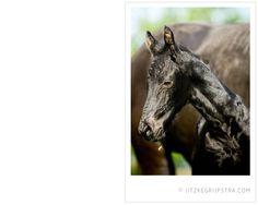 Fries paard, Friezen paarden, in het voorjaarszonnetje