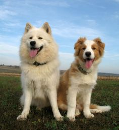 Best friends  Samoyed and Australian Red Border Collie
