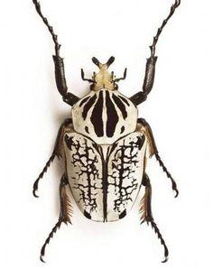 5 - Goliath Beetle