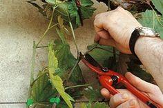 Tailler en vert : épamprer et écimer