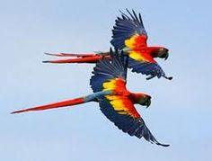 Gucamayos, Pareja - Amarillo, Azul y Rojo