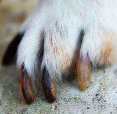 How To Clip Your Dogs Nails-Many dog owners dont clip their dogs nails because they think its too hard, or they are just too nervous to do it. Learn how here watching vidoe's and diagrams....Its not as hard as you think....